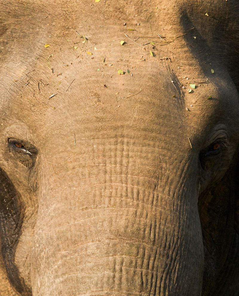 Elephant In Yala National Park